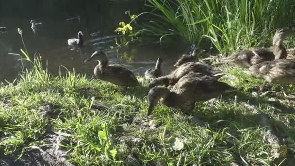Kacsa felnőtt kiskacsán a fűben, a nyári napsütésben a tó partján