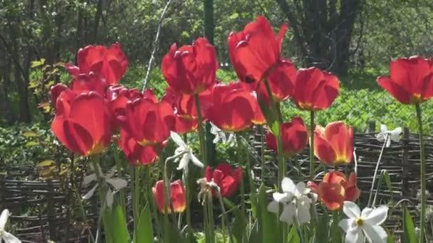 Feloldott vörös tulipánok és nárciszok a kertben egy nyári telken egy napsütéses napon, nárciszok és vörös tulipánok lengenek a kerti széltől,