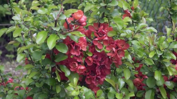 Chaenomeles japonica, known as either the Japanese quince or Maules quince, is a species of flowering quince. It is a thorny deciduous shrub that is commonly cultivated.