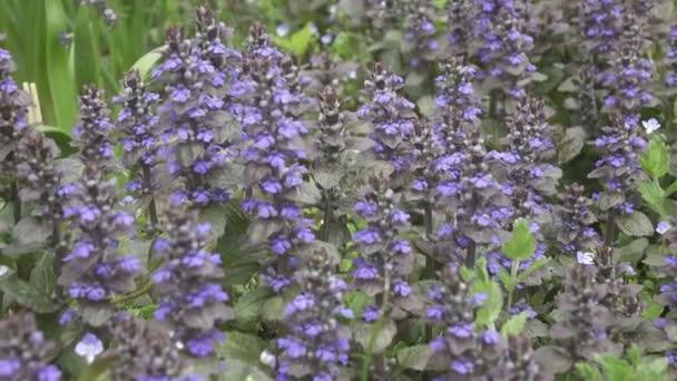 Trubač - Ajuga reptans Hmotnost květin v dlouhé trávě. Zavřít modré jarní květiny na rozmazaném pozadí. Ajuga reptans. Truhlák kobercový,