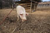 Traditionelle Zucht von Hausschweinen auf Bauernhöfen.