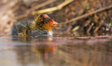 One Red-knobbed coot chick swims on still water pond