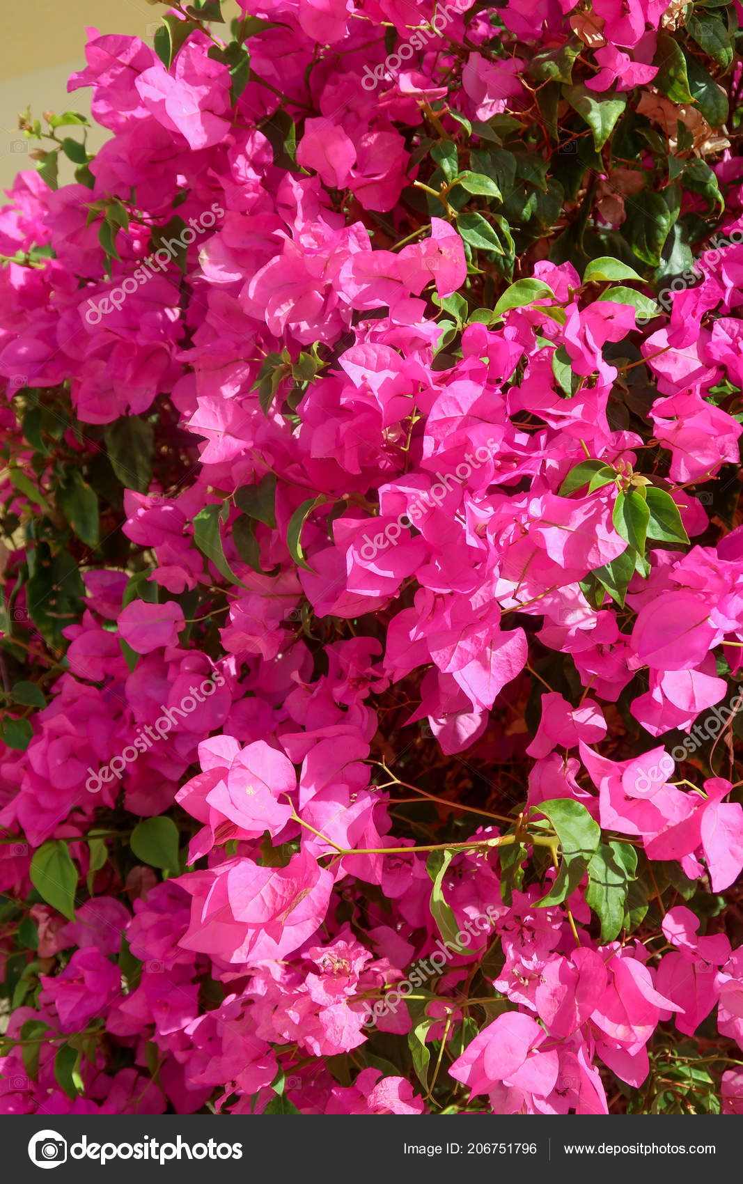 Bougainvillea Purple Flowers Landscape Stock Photo C Kzwwsko