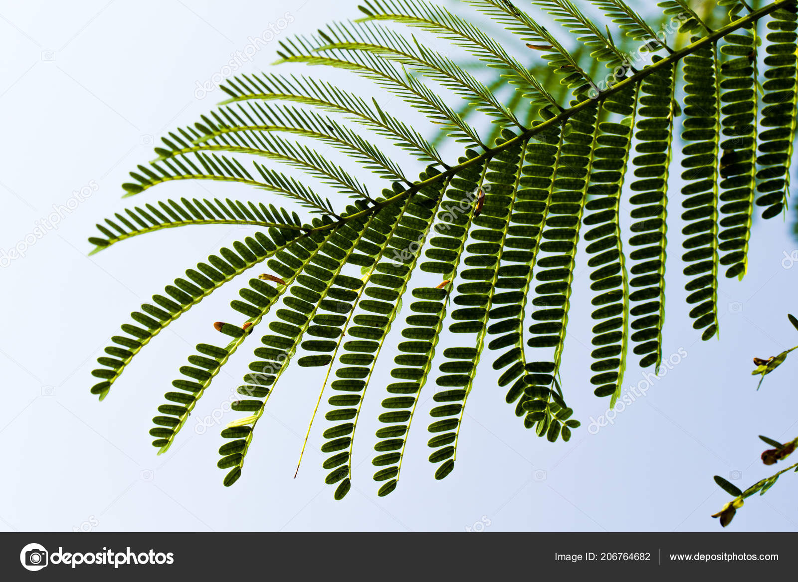 Acacia Leaves Blue Sky Stock Photo Kzwwsko 206764682