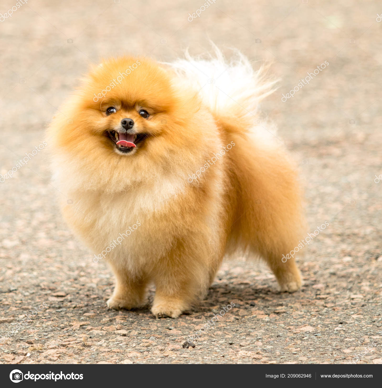 Süß Und Flauschig Spitz Hund Auf Einem Spaziergang Stockfoto