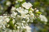 Kvete jablečný ovocný sad. Bílé květy jabloní, zelené listy jsou blízko.
