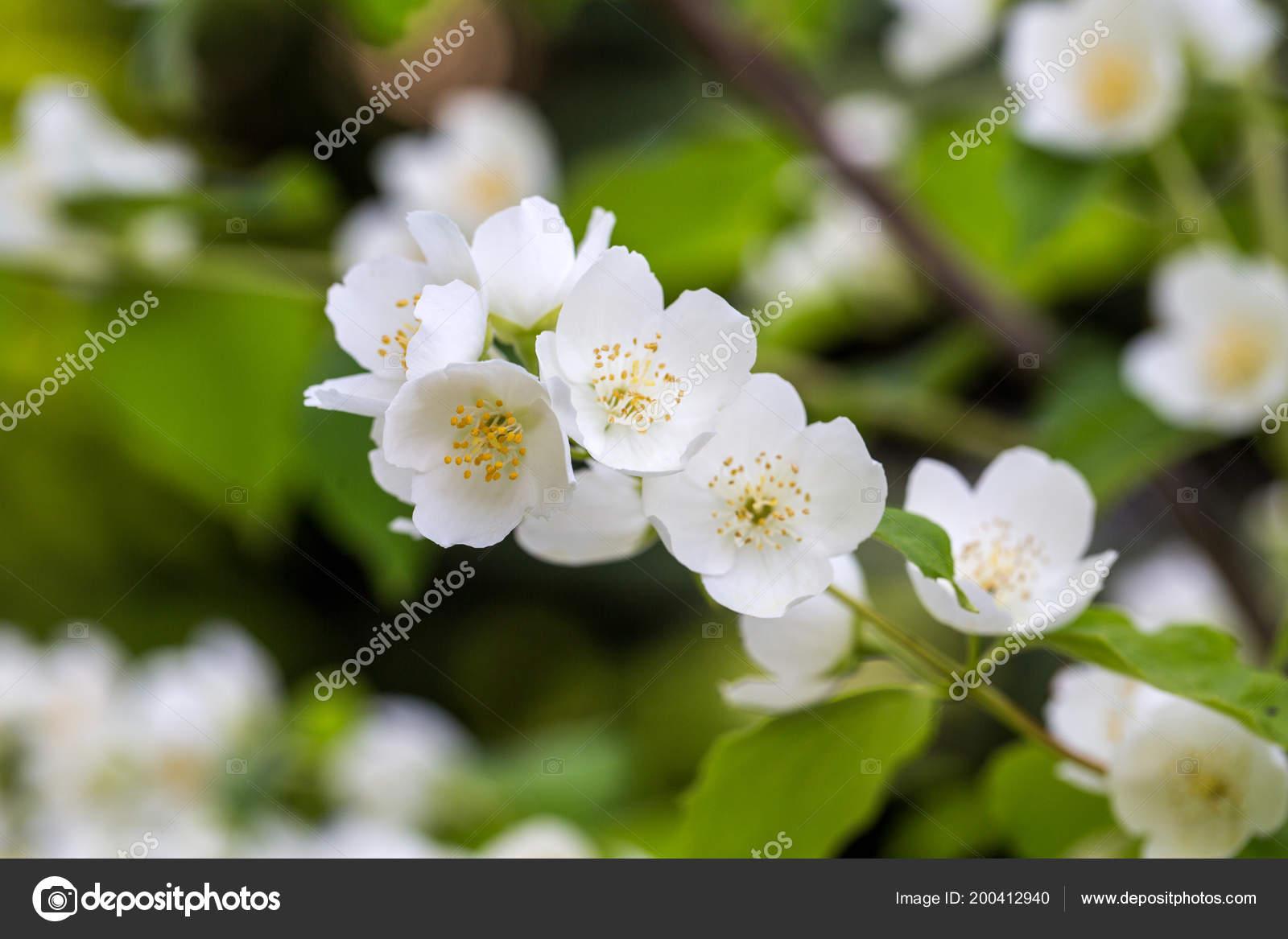 Schöne Blühende Zweig Von Jasmin Garten Stockfoto Wjarek 200412940