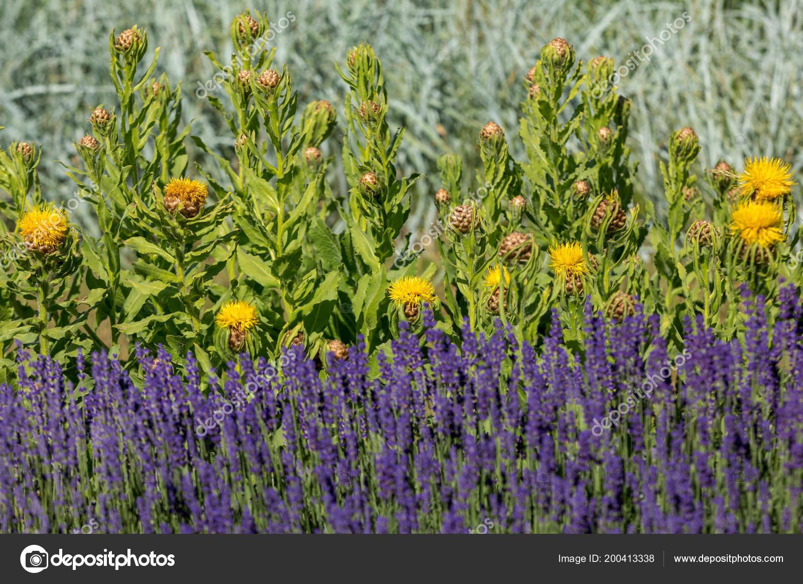 Flourishing Lavender Yellow Star Thistle Flowers Stock Photo