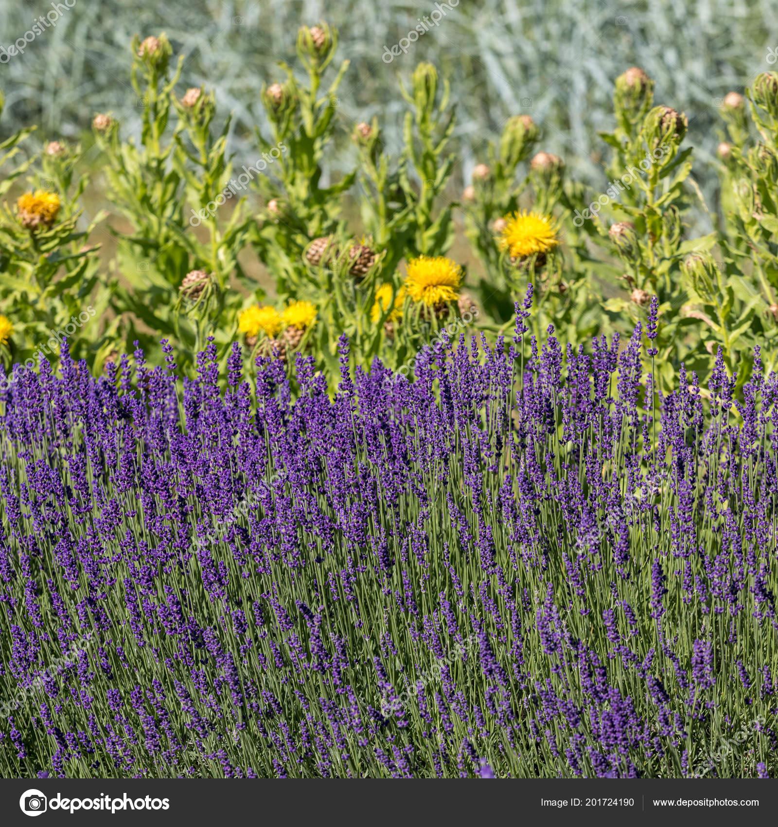 Flourishing lavender yellow star thistle flowers stock photo flourishing lavender yellow star thistle flowers stock photo mightylinksfo