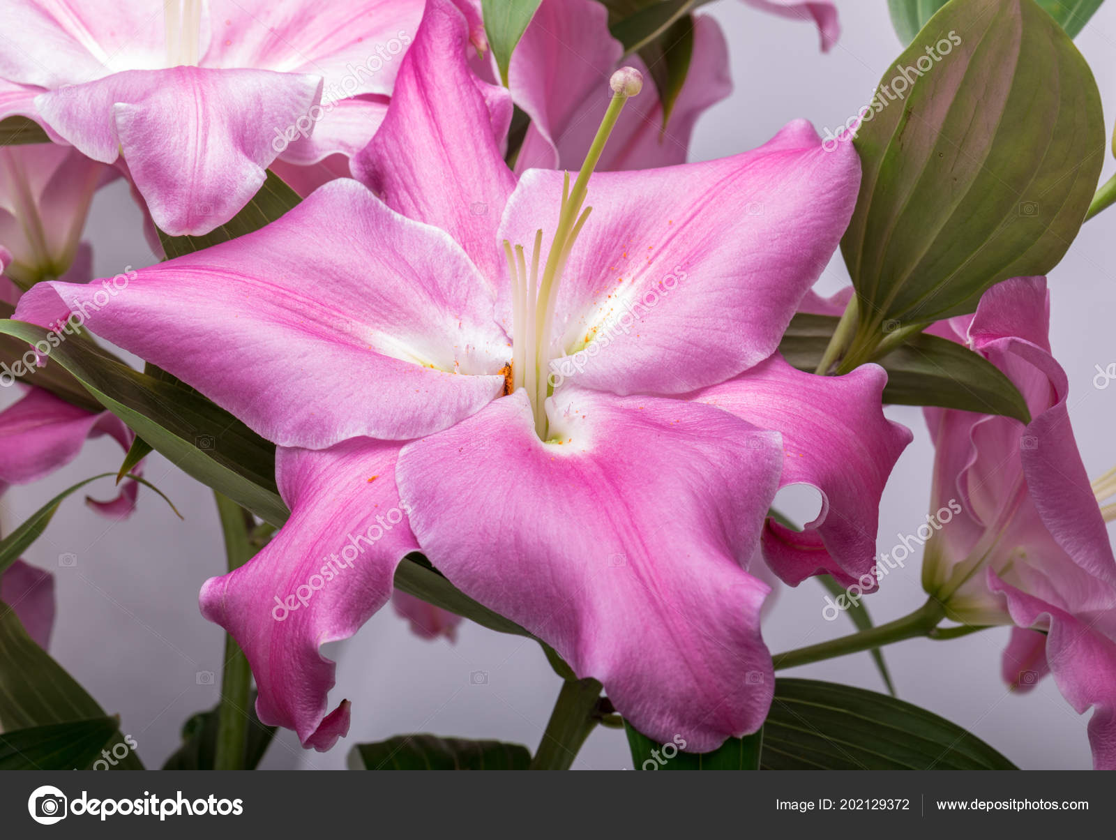 Close Pink Liles Flowers Common Names Species Genus Include Fairy