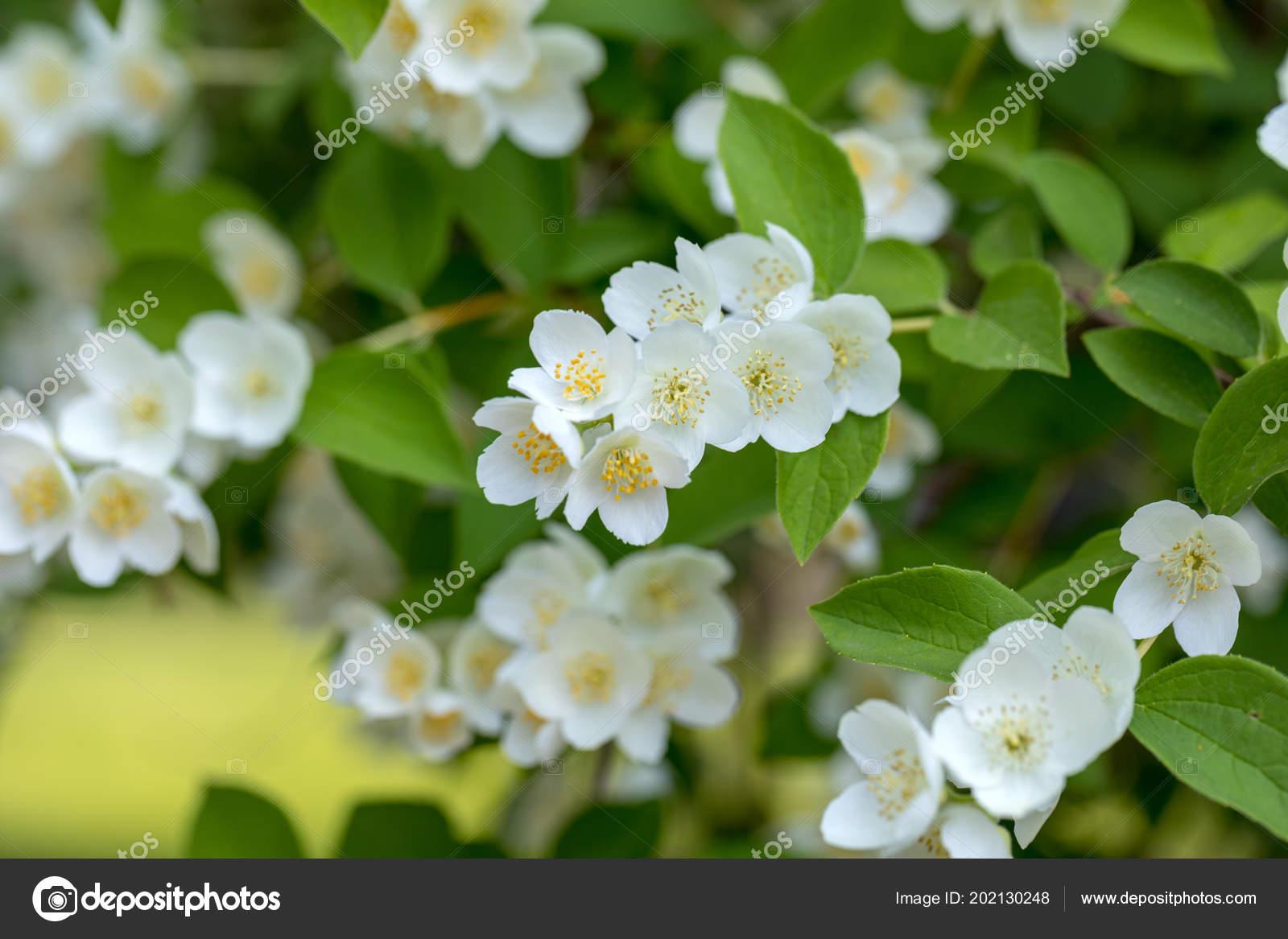 Schöne Blühende Zweig Von Jasmin Garten Stockfoto Wjarek 202130248