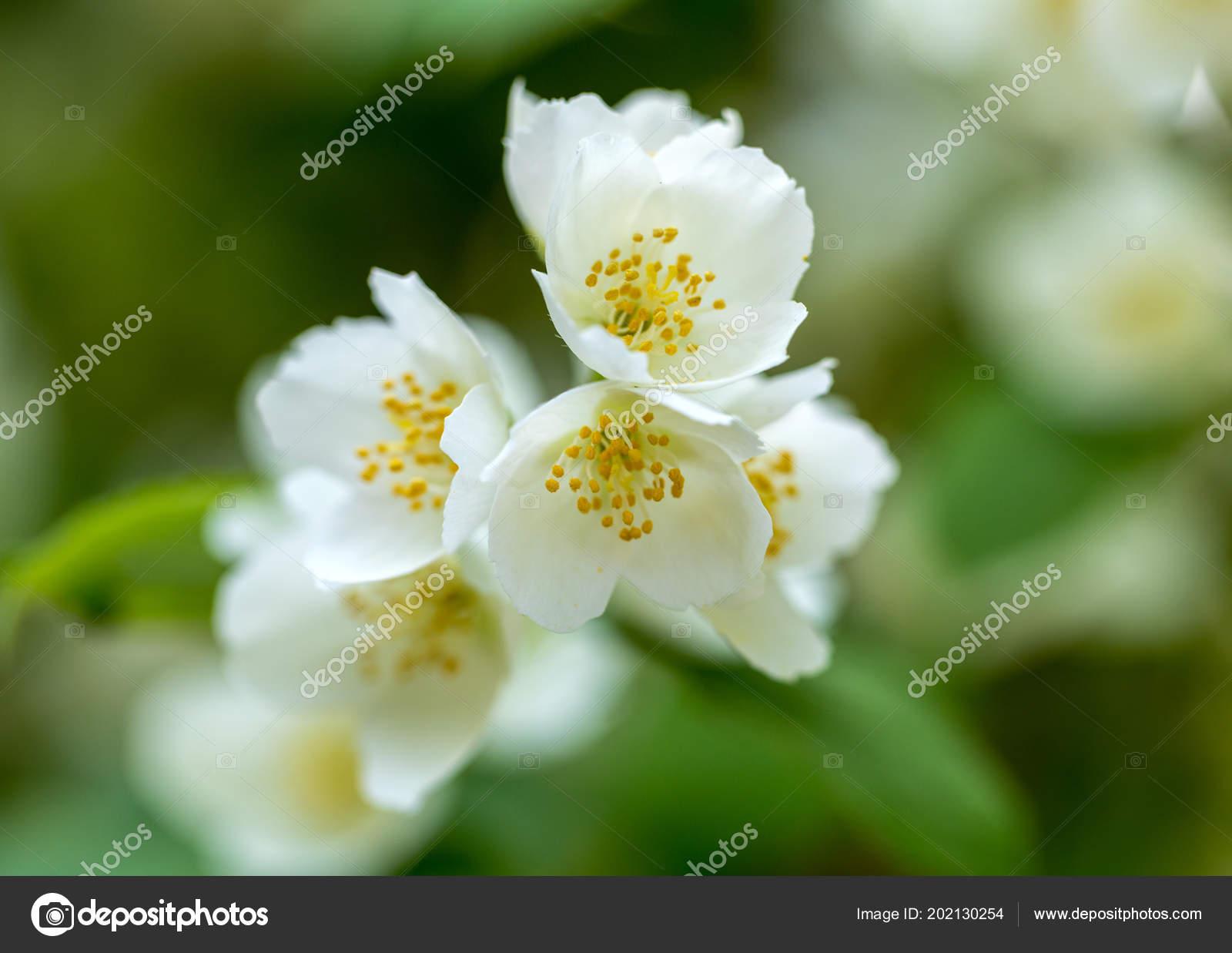 Schöne Blühende Zweig Von Jasmin Garten Stockfoto Wjarek 202130254