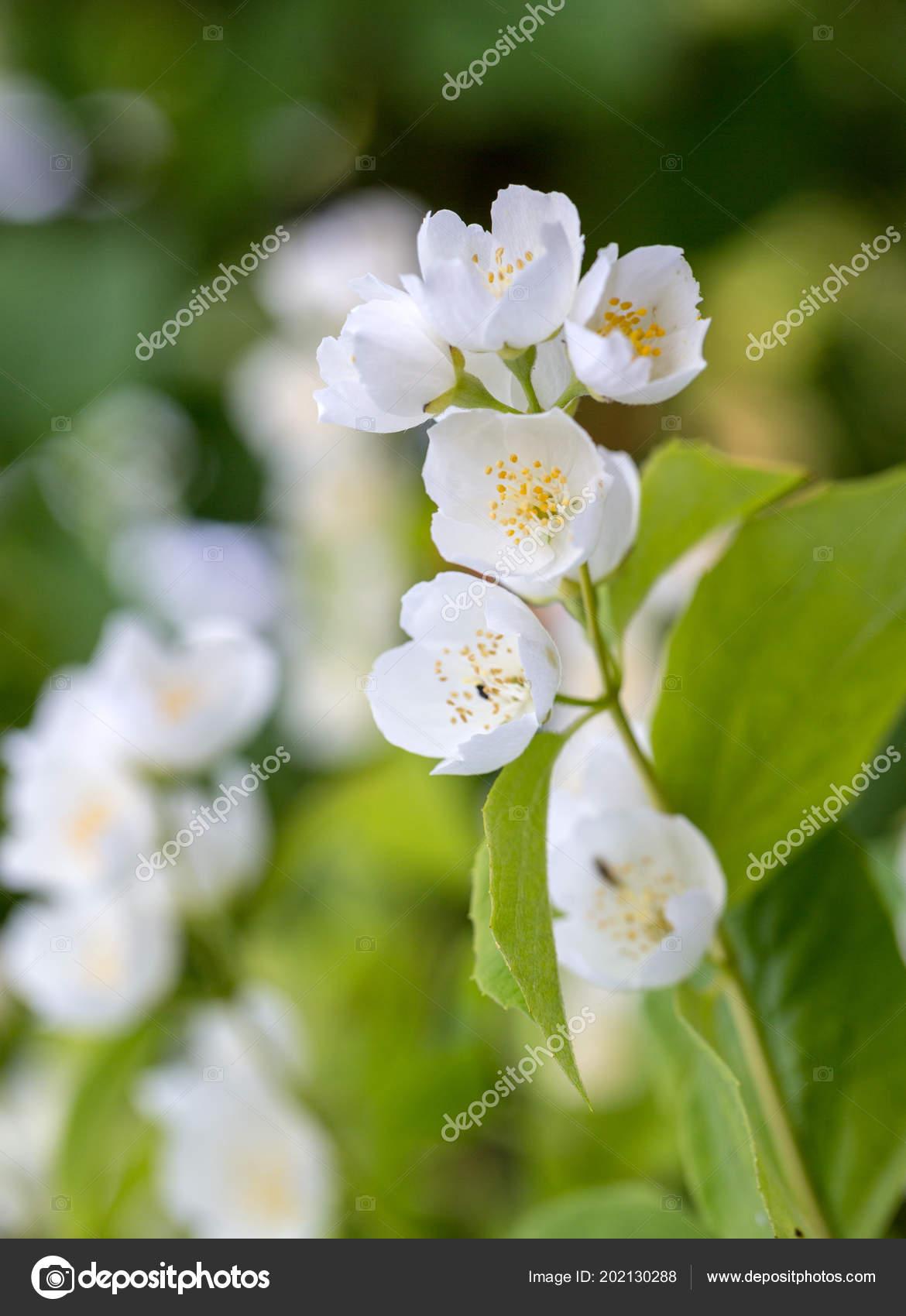 Schöne Blühende Zweig Von Jasmin Garten Stockfoto Wjarek 202130288