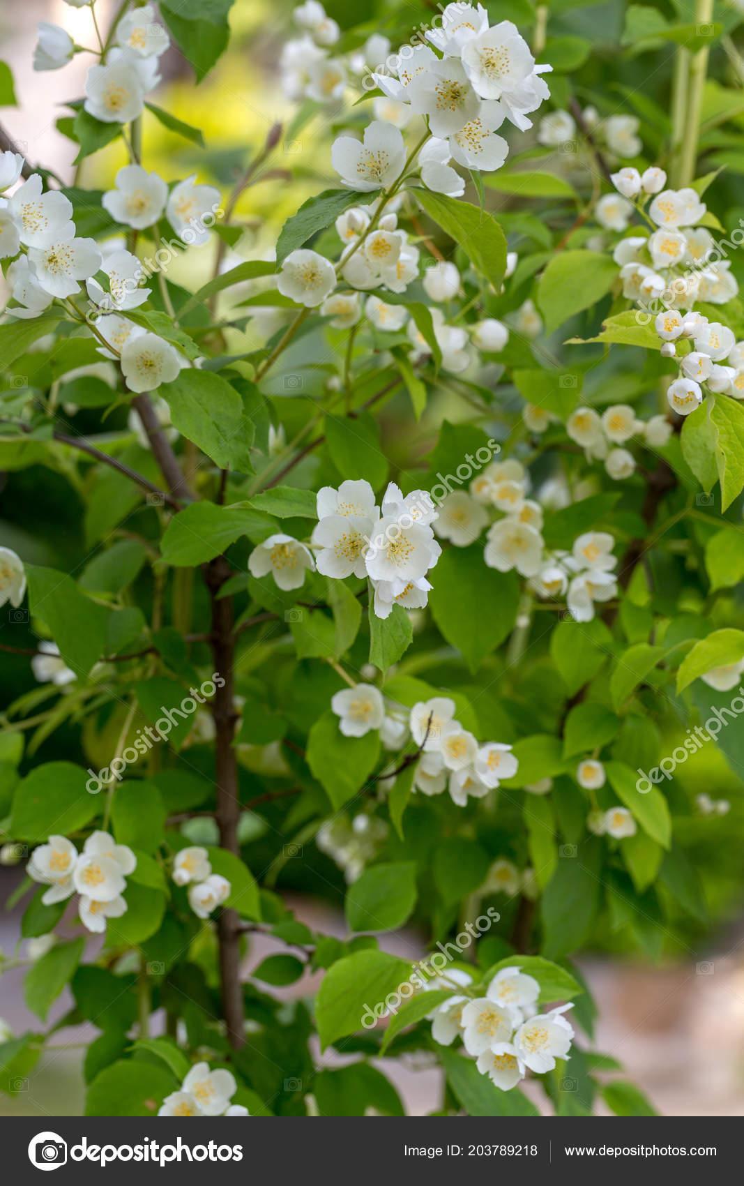 Schöne Blühende Zweig Von Jasmin Garten Stockfoto Wjarek 203789218