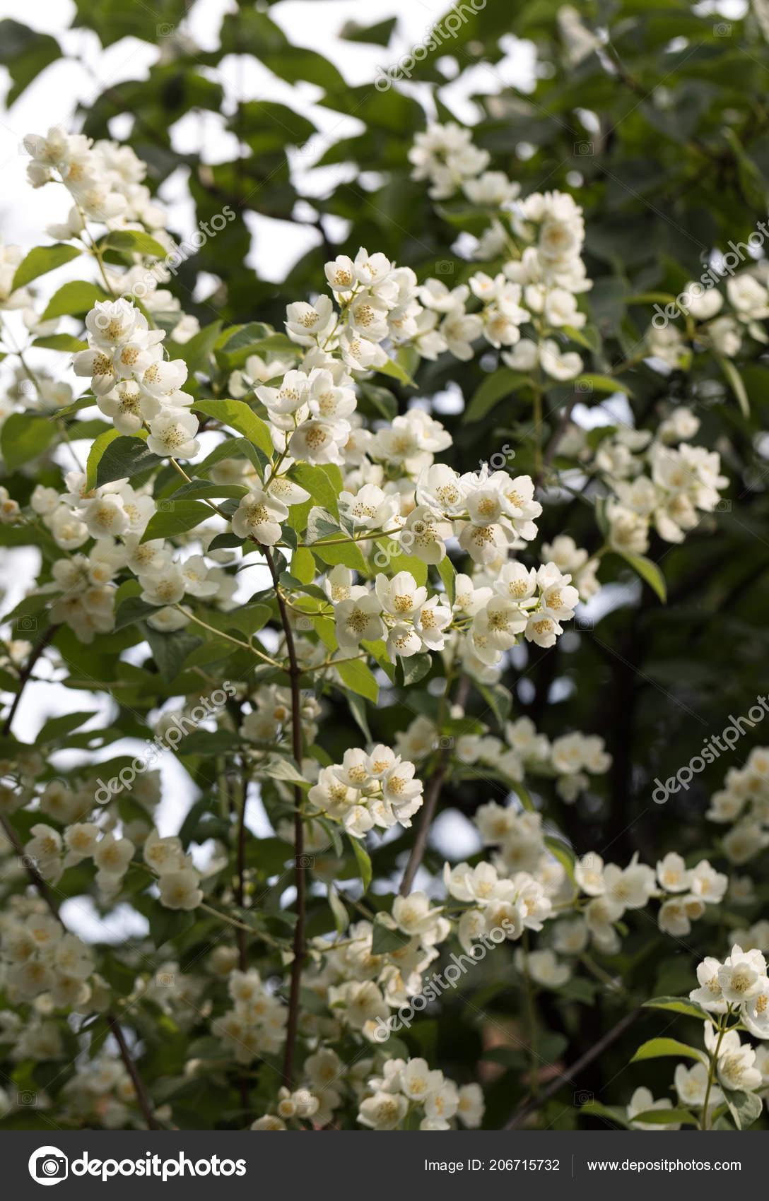 Schöne Blühende Zweig Von Jasmin Garten Stockfoto Wjarek 206715732