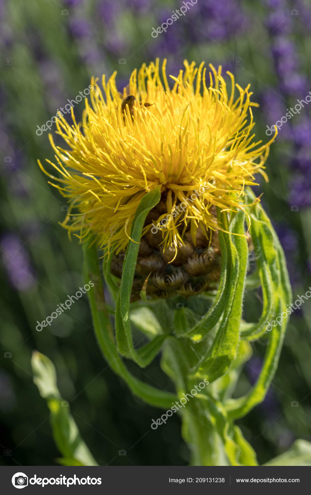 Blooming Yellow Star Thistle Flowers Lavender Field Background