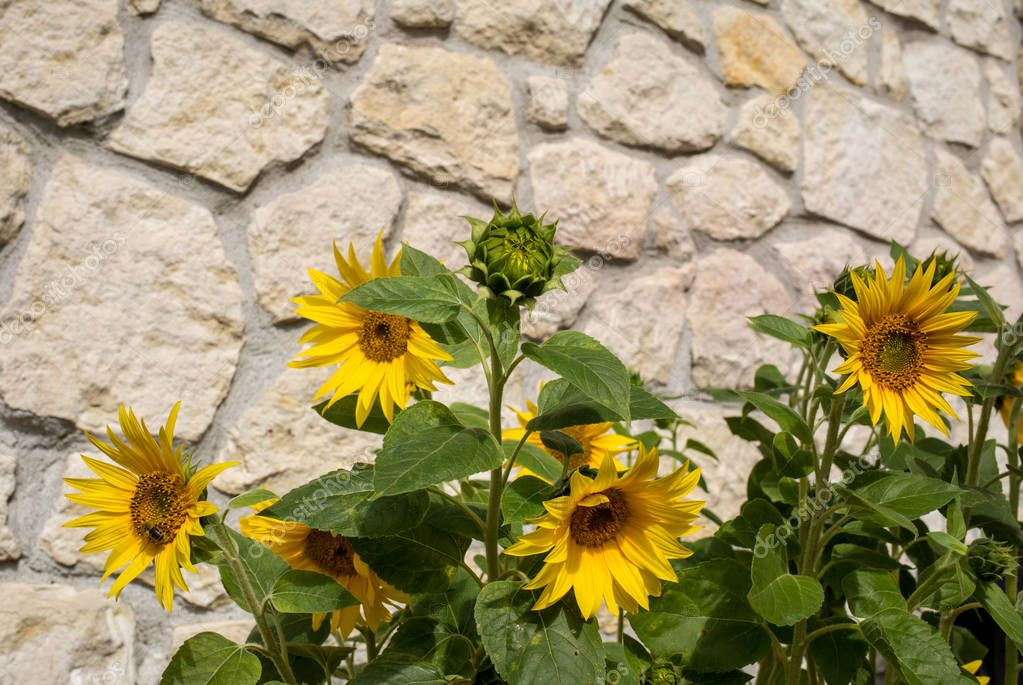 Blooming sunflowers against the background of a limestone wall