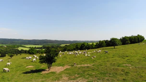 Luftbild von Kühen und Stieren auf einem Feld