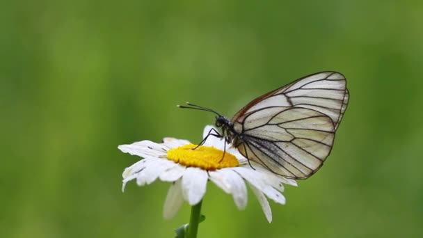 White butterfly on a Daisy flower