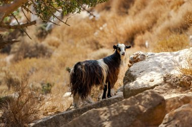 Goat in the mountains of Crete, Greece