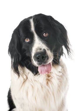 young landseer in front of white background