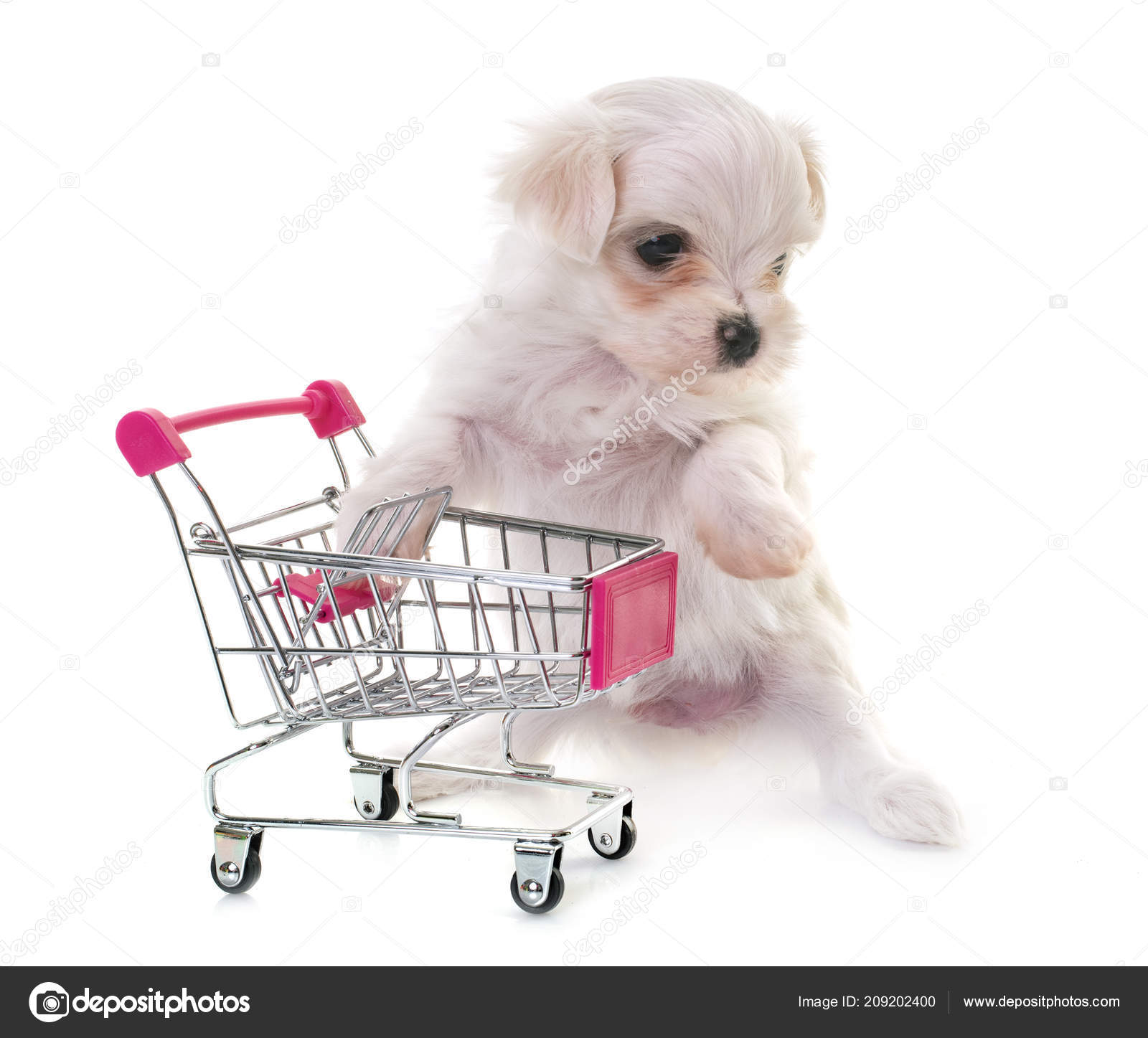Puppy Maltese Dog Trolley Front White Background — Stock Photo
