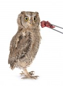 Photo Eurasian scops owl in front of white background