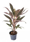 Photo cordyline potted plant in front of white background
