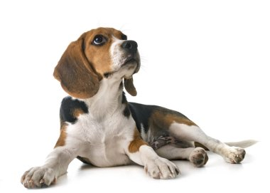 beagle dog in front of white background