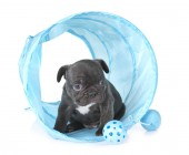 Photo puppy french bulldog in front of white background