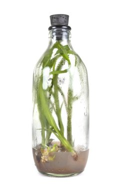 baby orchid in bottle in front of white background