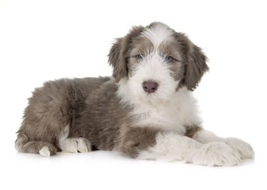 Puppy bearded collie in front of white background stock vector