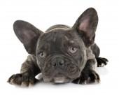 francia-bulldog kiskutya