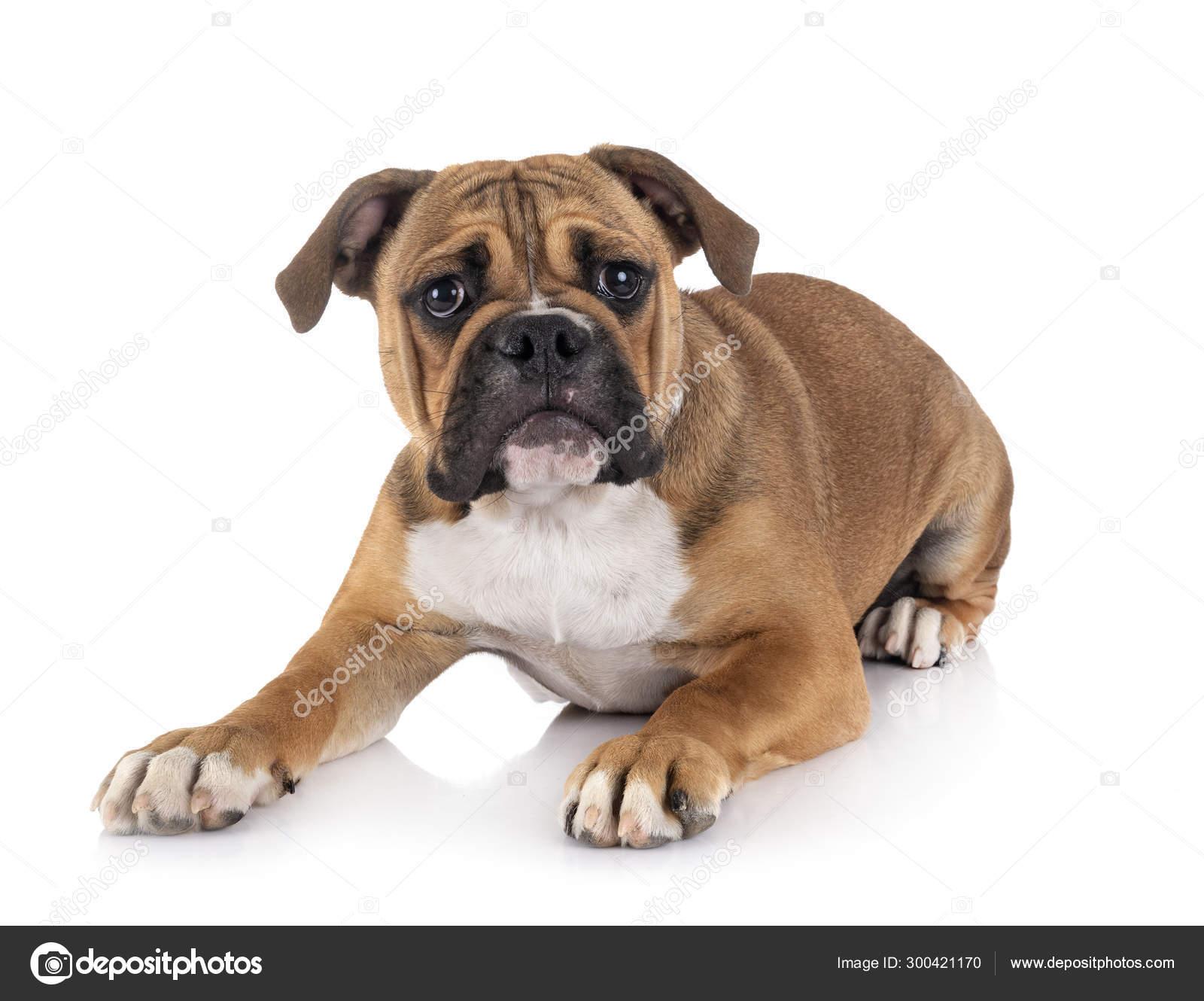 Continental Bulldog In Studio Stock Photo C Cynoclub 300421170