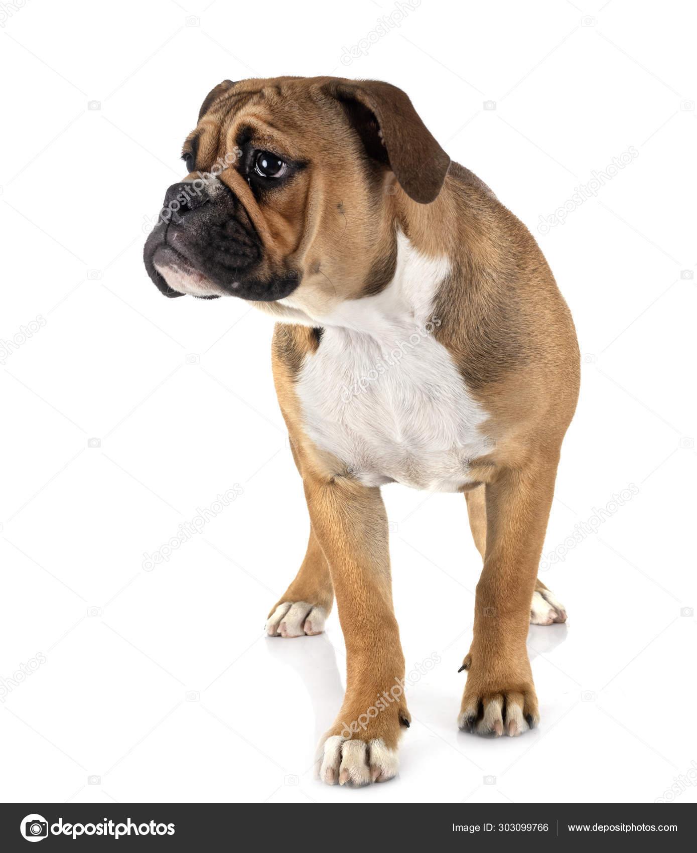 Continental Bulldog In Studio Stock Photo C Cynoclub 303099766