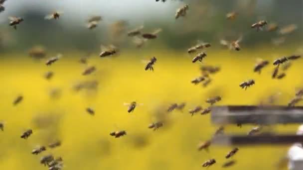 Méhek, méhkaptár, lassítva a bejáratnál Raj