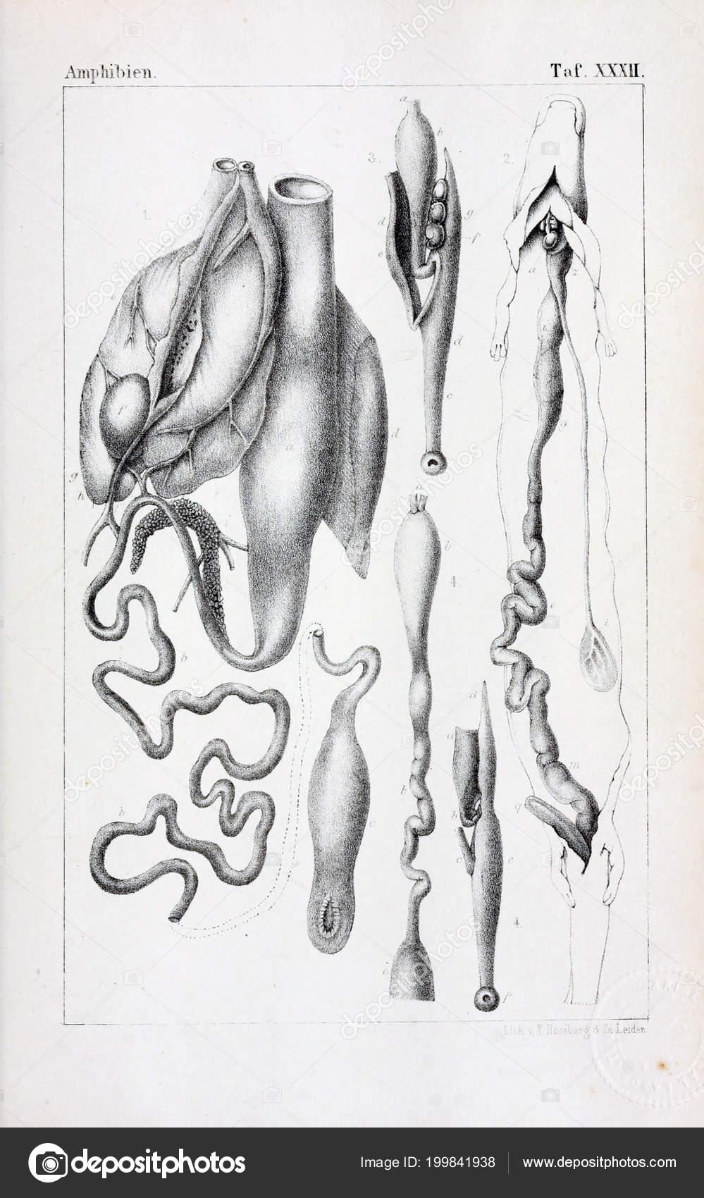 Anatomía Los Animales Ilustración Antigua — Fotos de Stock © ruskpp ...