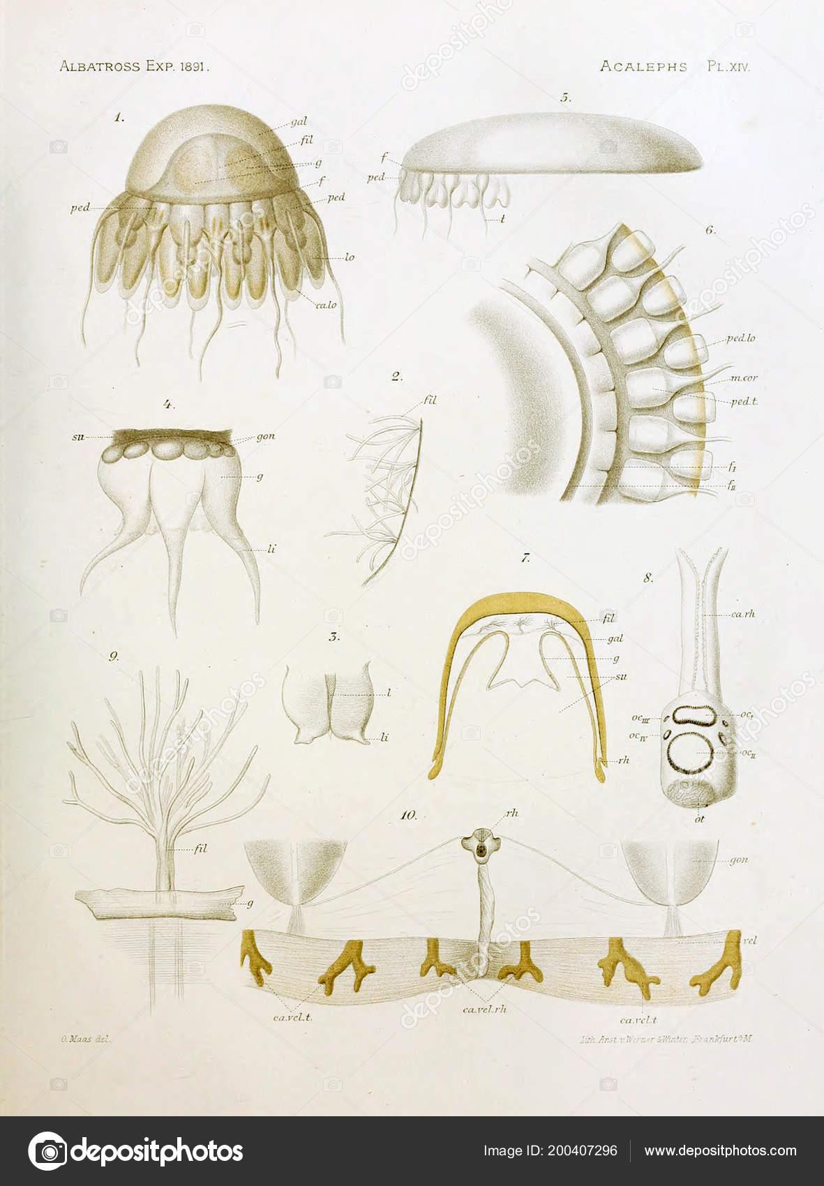 Illustration Anatomy Jellyfish — Stock Photo © ruskpp #200407296