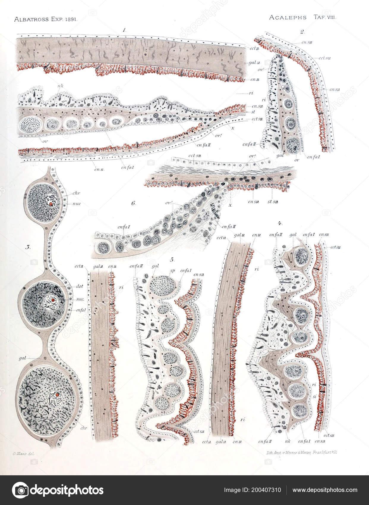 Illustration Anatomy Jellyfish — Stock Photo © ruskpp #200407310