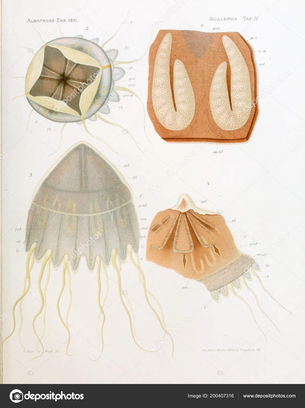 Illustration Anatomy Jellyfish — Stock Photo © ruskpp #200407316