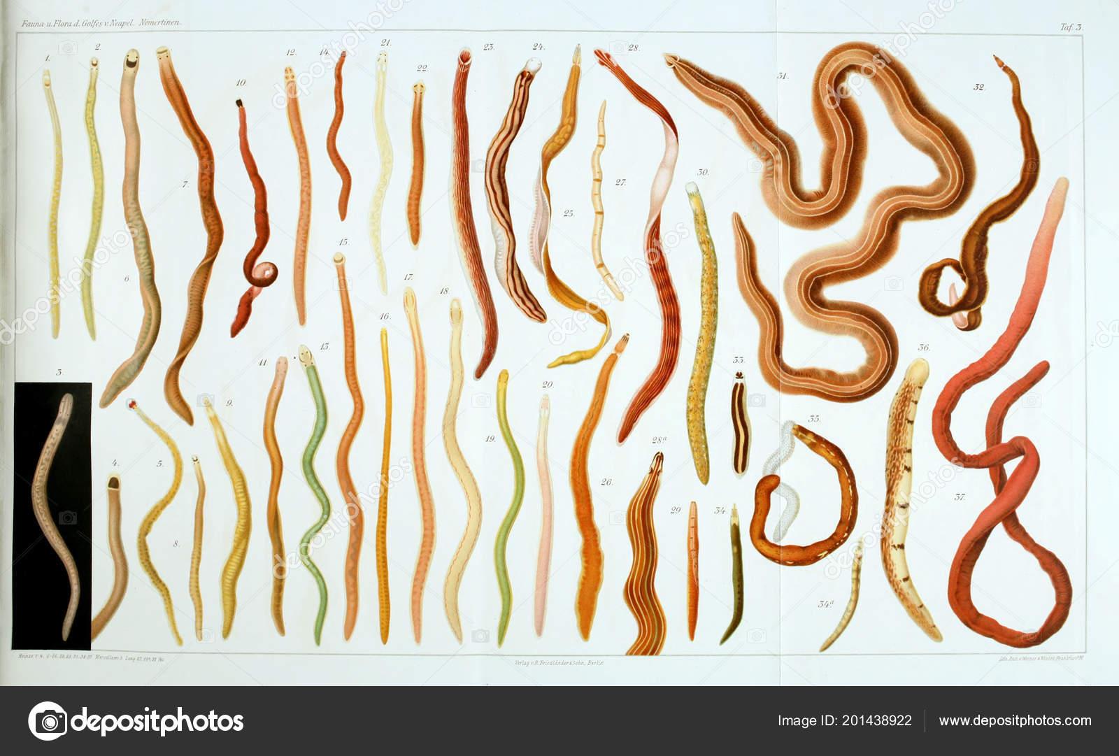 Estructura Anatomía Gusanos Nemertea — Fotos de Stock © ruskpp ...