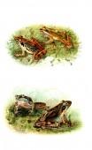 Ilustrace žába. Starý obrázek