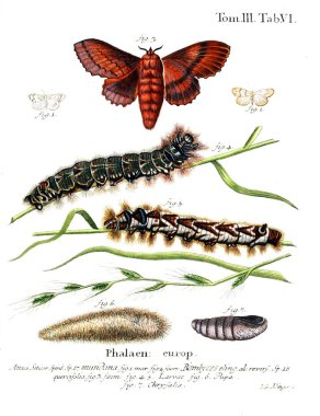 Illustration of butterflies. Old image