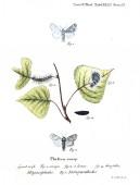 Illustrazione delle farfalle. Vecchia immagine