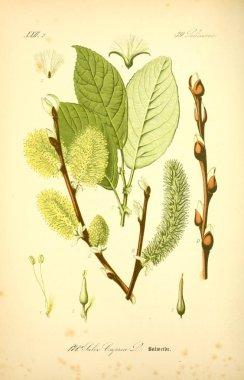Illustration of plant. Old image