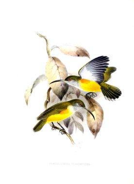 Illustration of bird. Old image
