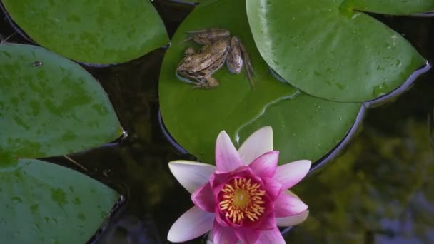 Ultra high definition closeup 4k video of Pacific chorus tree frog resting on green waterlily pad with blooming pink flower in backyard garden pond summer season 3840x2160