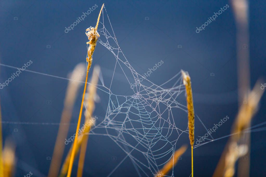 Indian summer spider web hanging on dry grass macro