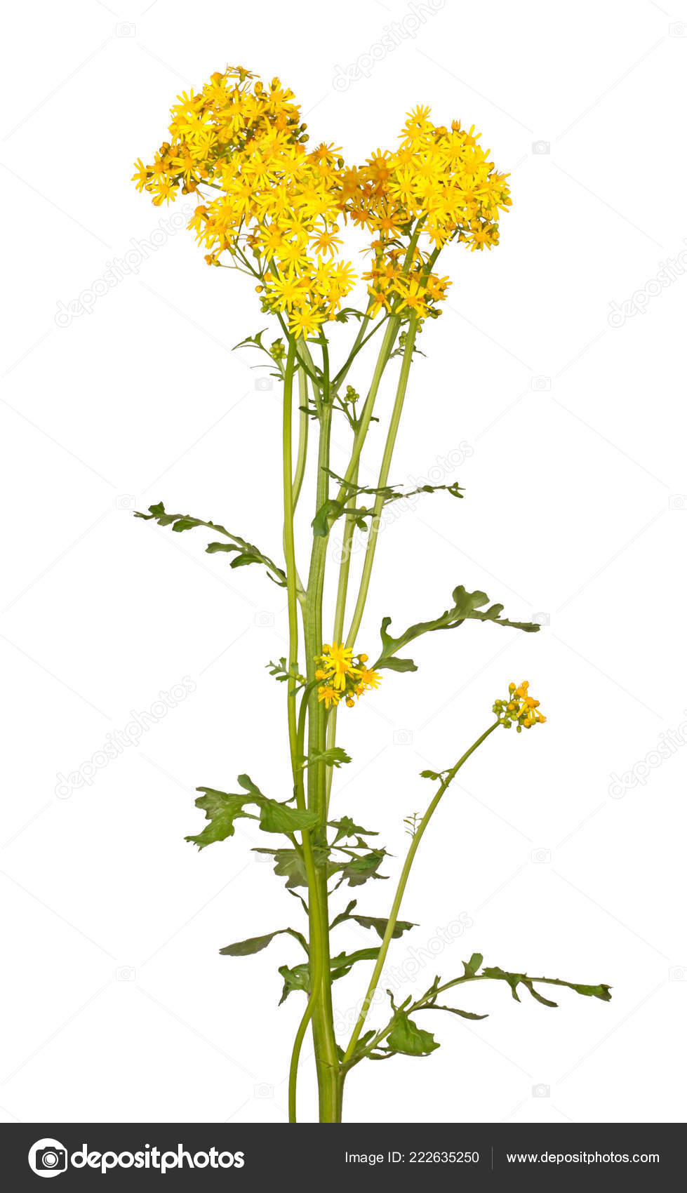 Fiori Gialli Gambo Lungo.Long Stem Bright Yellow Spring Flowers North American Native Weed