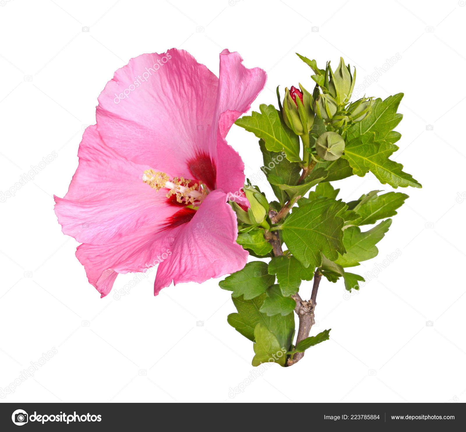 Single Purple Flower Numerous Buds Leaves Stem Rose Sharon Hibiscus